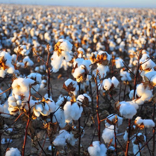 ethical t shirt printing source organic cotton